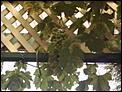 Anyone grow grapes in Australia?-phto0012.jpg