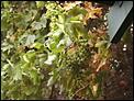 Anyone grow grapes in Australia?-phto0015.jpg