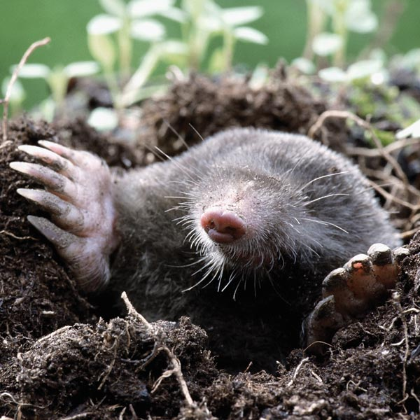 Moles Good or bad for your garden Page 2 British Expats