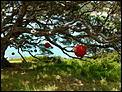 The Pohutukawa Christmas tree picture thread.-p1000103.jpg