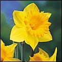 Pinch Punch-daffodil.jpg