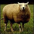 I saw a sheep last week.-sheep1.jpg