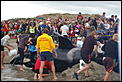 Orca washed up on Papamoa Beach-whale-saving-sept-08-020.jpg